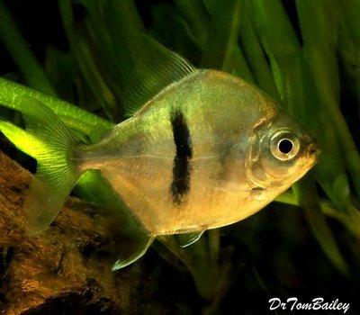 Premium WILD, Rare Black Bar Silver Dollar Fish, Size: 3