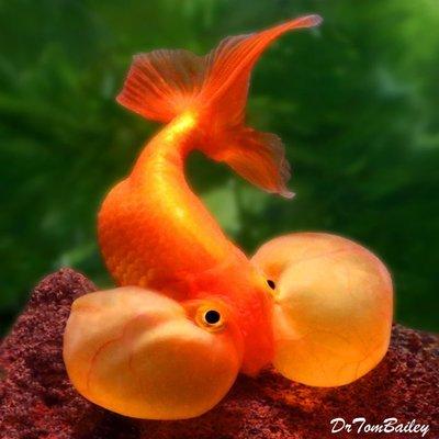 Premium Red Bubble-Eye Goldfish, Size: 2.5