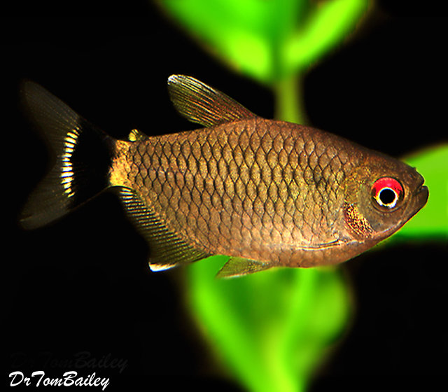 "Premium Red-Eye Tetra, Size: 1"" to 1.5"""