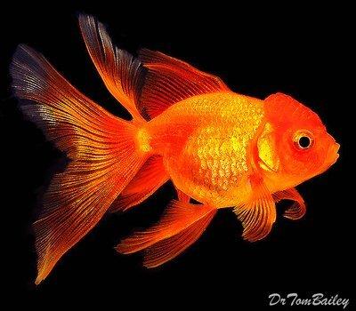 Premium Red Oranda Goldfish, Size: 2
