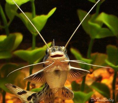 Premium WILD, Columbian Pimelodus Pictus Catfish, Size: 2