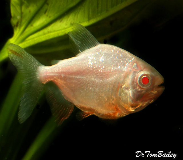 "Premium Albino Pacu, grows to be very Large, Size: 4"" to 4.5"""