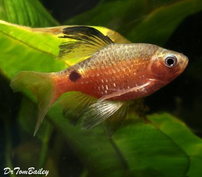 Premium Longfin Rosy Barb Male, Size: 1.5