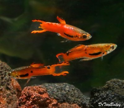 Premium MALE Rare Red Scarlet Endler's Livebearer, Nano Fish, Size: 0.75