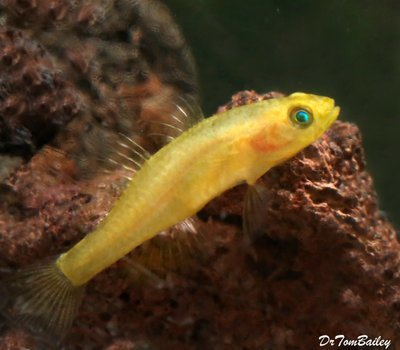 Premium Rare Freshwater Goby, Golden Rexi Goby, Nano Fish, Size: 1