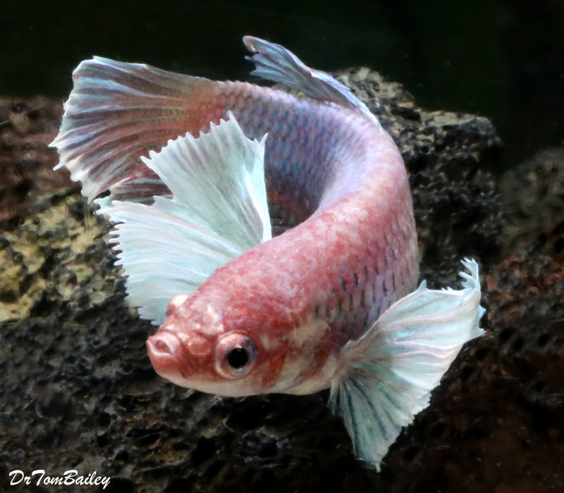 Premium FEMALE WYSIWYG Dumbo Ear Halfmoon Betta Fish