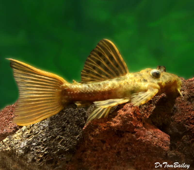 "Premium WILD, Rare Spiny Monster Plecostomus Catfish, L096, Size: 6"" to 7"""