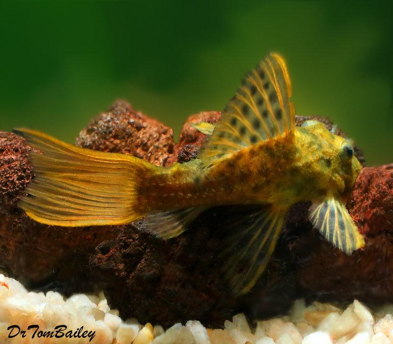 "Premium WILD, Rare Spiny Monster Plecostomus Catfish, L096, Size: 4"" to 5"""