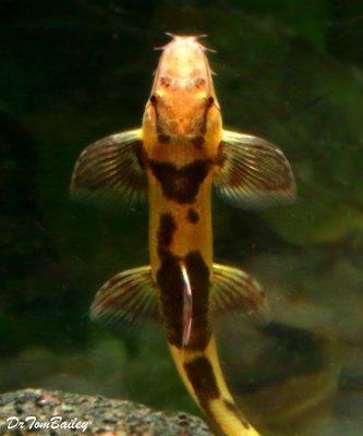 Premium Rare Gecko Loach, Homaloptera orthogoniata, Size: 1.5