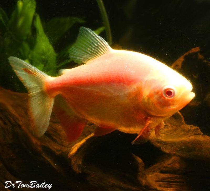 Premium WYSIWYG Albino Pacu, grows to be very Large