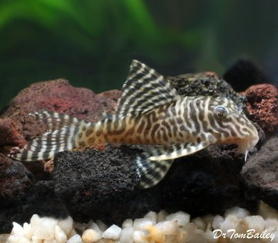 Premium WILD, Rare Scribble Pleco or Queen Arabesque Pleco, L260, Size: 3