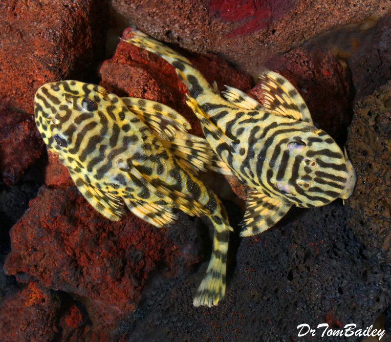 """Premium WILD, Rare Leopard Frog Plecostomus, L134, Size: 3"""" to 3.5"""""""