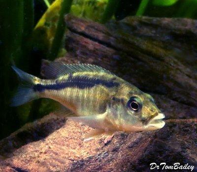 Premium New Rare, Lake Malawi Trout, Champsochromis caeruleus Cichlid, Size: 5