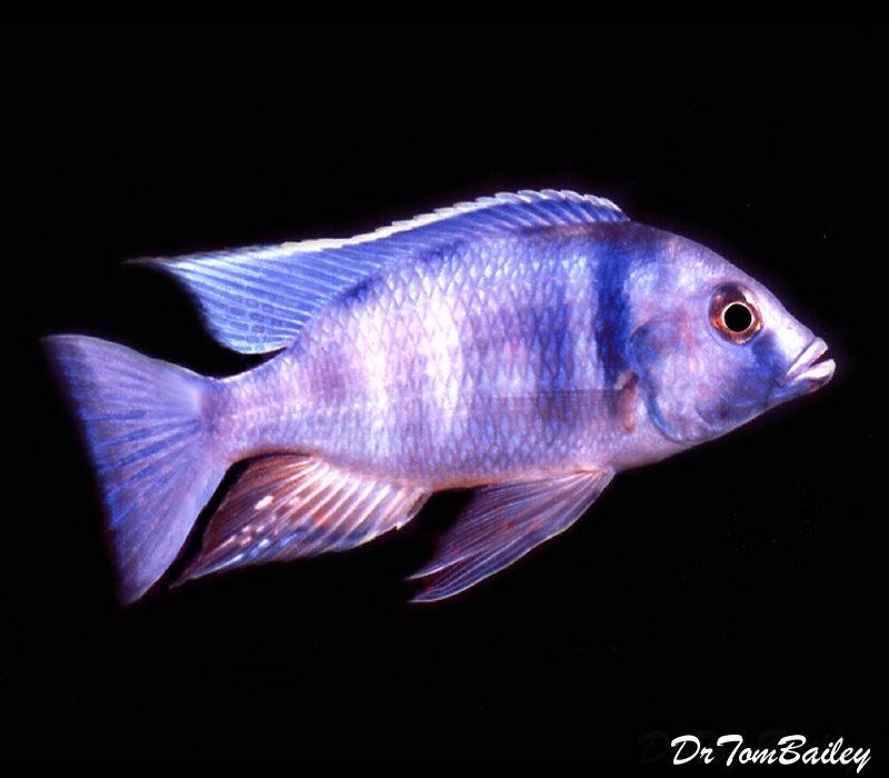"Premium Lake Malawi Deep Water, Electra Hap, Size: 3"" to 3.5"""