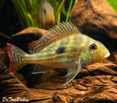 Premium Rare and New, Geophagus Winemilleri Cichlid, Size: 2