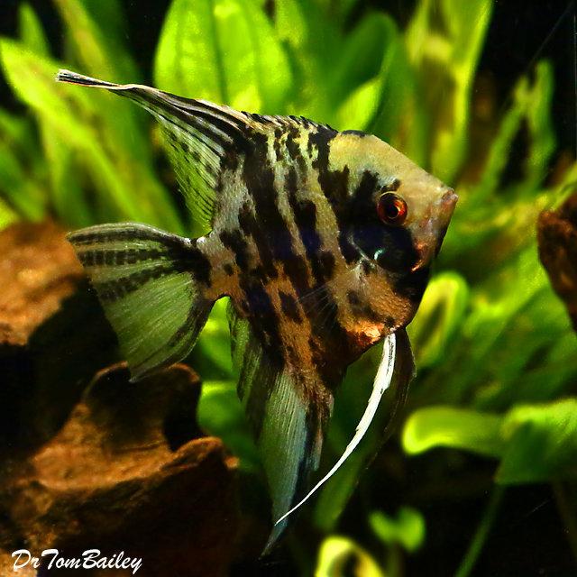 "Premium Marbled Angelfish, Size: 1"" to 1.5"""