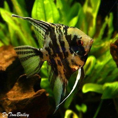 Premium Marbled Angelfish, Size: 1