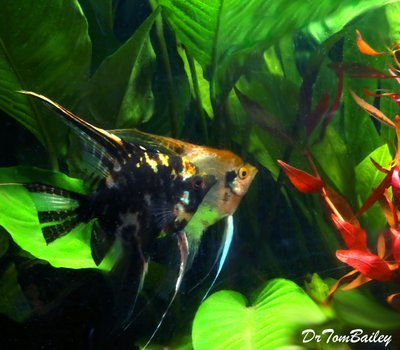 Premium Marbled Angelfish, Size: 2.5