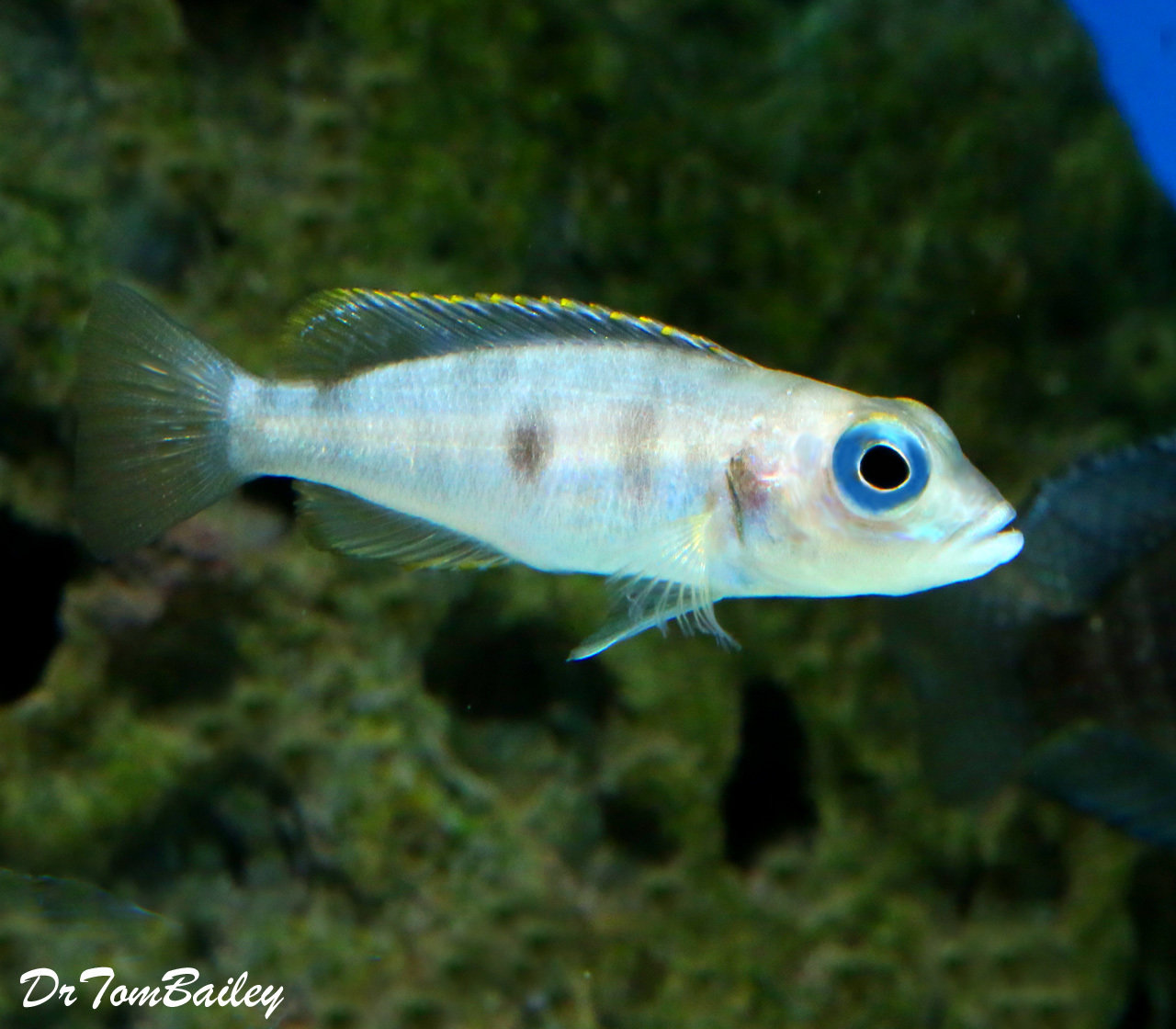 "Premium Rare Hecqui Shell Dwelling Cichlid from Lake Tanganyika, Size: 1"" to 1.5"""