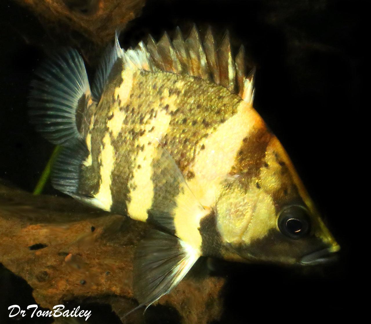 "Premium Rare WILD, New Guinea Tiger Datnioides, NGT, Size: 3.5"" to 4"""