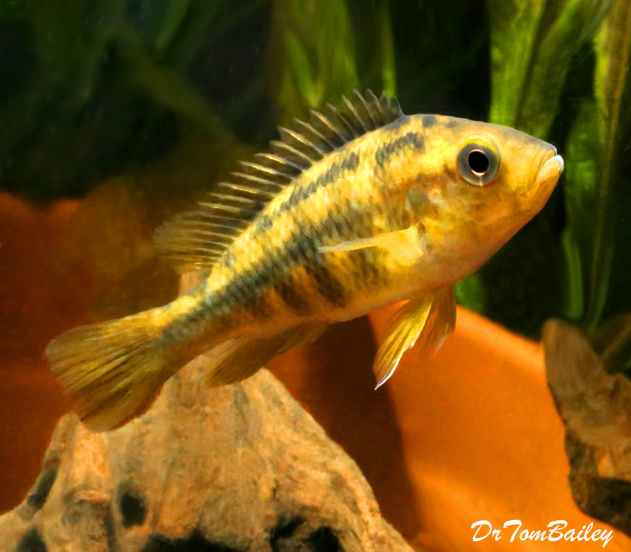 "Premium Lake Victoria Yellow Rock Kribensis Cichlid, Size: 2.5"" to 3"""