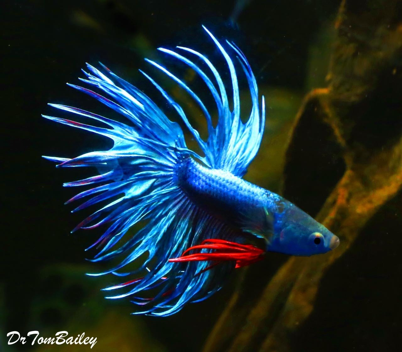 "Premium MALE Blue Crowntail Betta Fish, Size: 2.5"" to 3"""