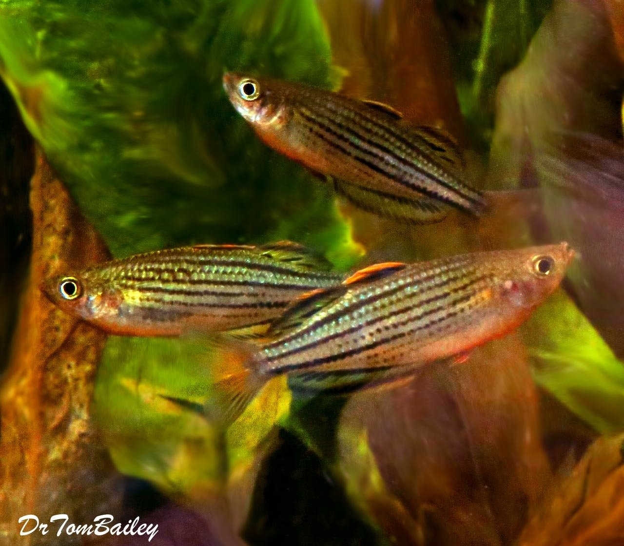 """Premium Rare Skull Creek Rainbowfish, Size: 1.5"""" to 2"""""""