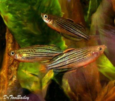 Premium Rare Skull Creek Rainbowfish, Size: 1.5