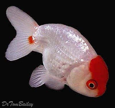 Premium Red & White Ranchu Goldfish, Size: 2.5
