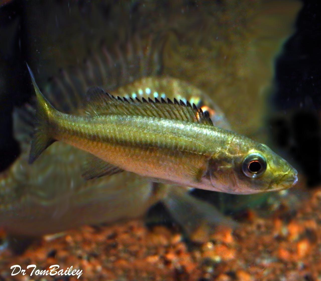 "Premium Rare New, Rhamphochromis Esox from Lake Malawi, Tank Raised, in G-11, Size: 4.5"" to 5"""