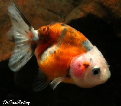 Premium Calico Ranchu Goldfish, Size: 1.5