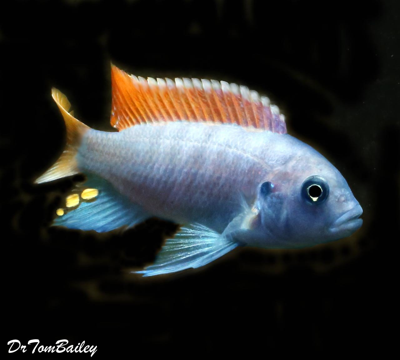"""Premium Red Top Zebra Mbuna from Lake Malawi in Africa, Size: 1.5"""" to 2"""""""