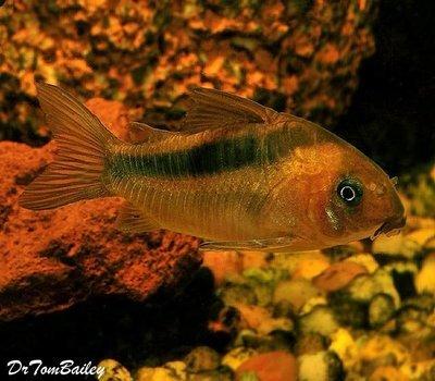Premium WILD, Rebauti Corydoras Catfish, Size: 1