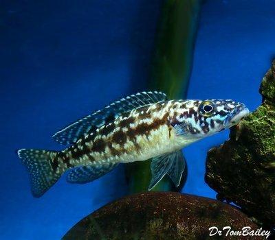 Premium Rare and New, Lake Tanganyika Lepidiolamprologus Nkambae Cichlid