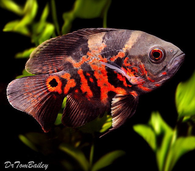"Premium Tiger Red Oscar Cichlid, Size: 2.5"" to 3"""