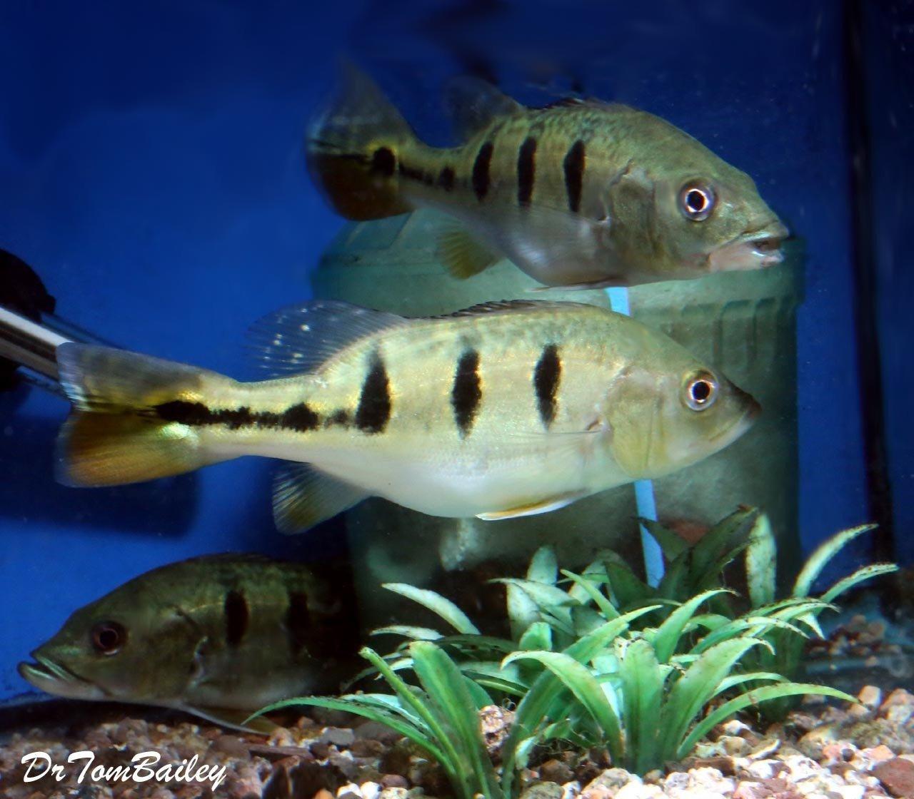 "Premium Rare Bahia Kelberi Peacock Bass, Size: 2"" to 2.5"""