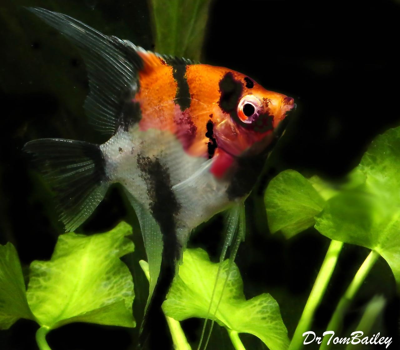 "Premium Select Koi Angelfish, Size: 1.5"" to 2"""