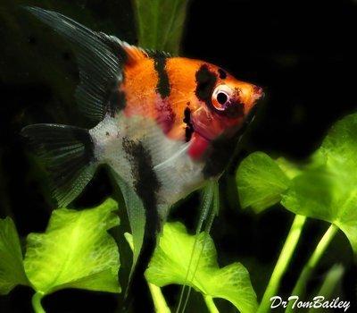 Premium Select Koi Angelfish, Size: 1.5