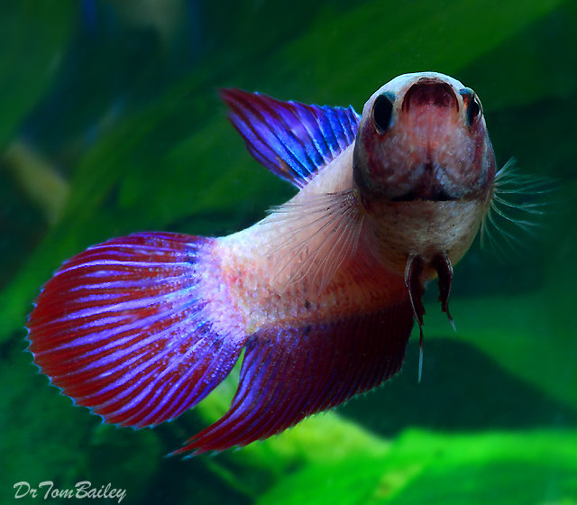 "Premium FEMALE Cambodian Betta Fish, Size: 1"" to 1.5"""