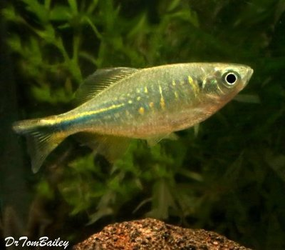 Premium Rare and New, Orange Hatchet Danio, Nano Fish