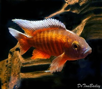 Premium Lake Malawi Butterfly Peacock Cichlid, Size: 4
