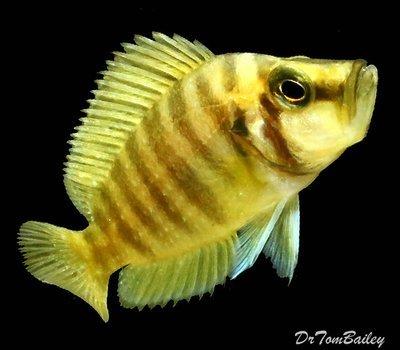 Premium Rare WILD, Lake Tanganyika Gold Head Altolamprologus Compressiceps Cichlid, Size: 3