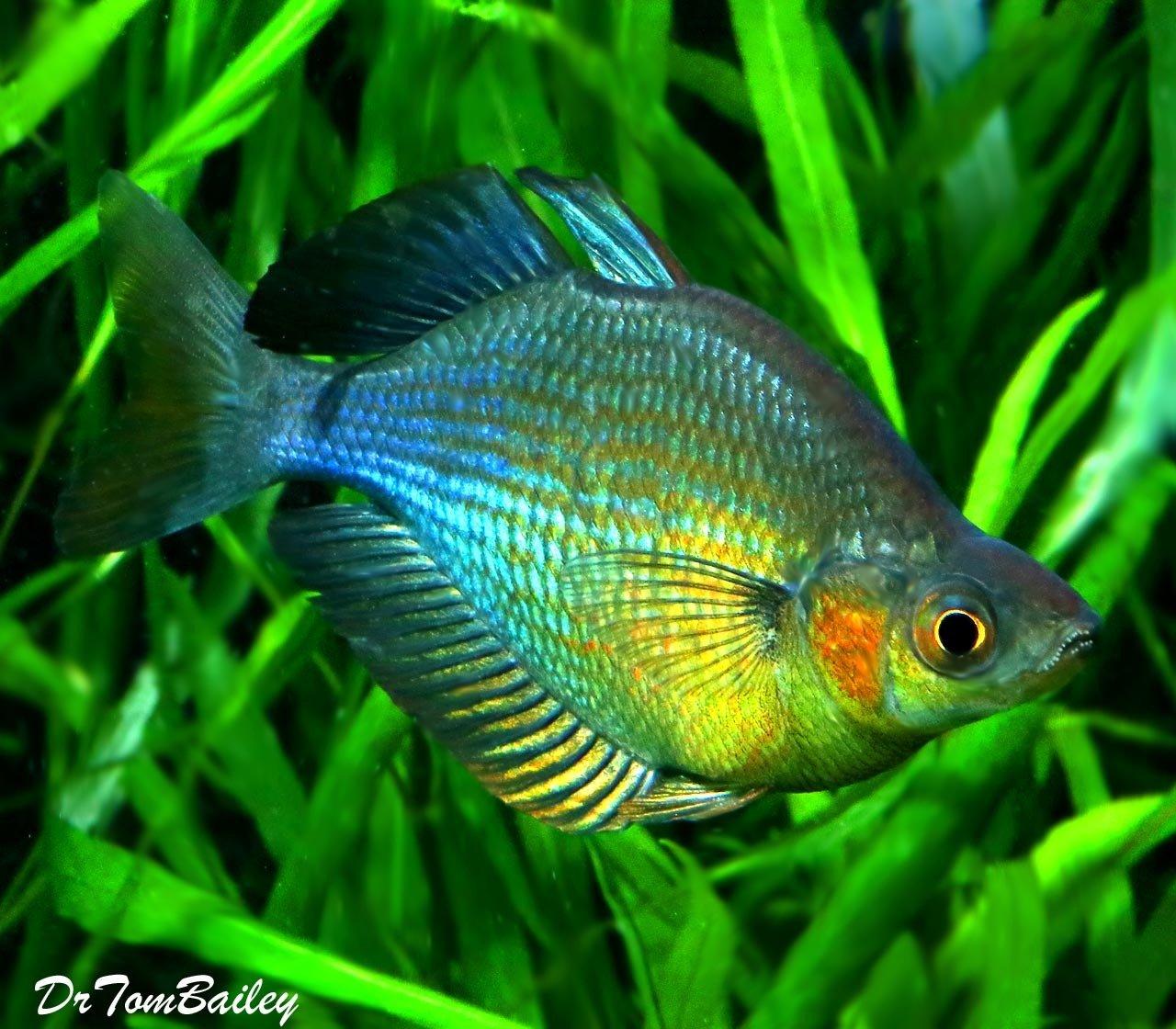 "Premium Turquoise Rainbowfish, Size: 1.5"" to 2"""