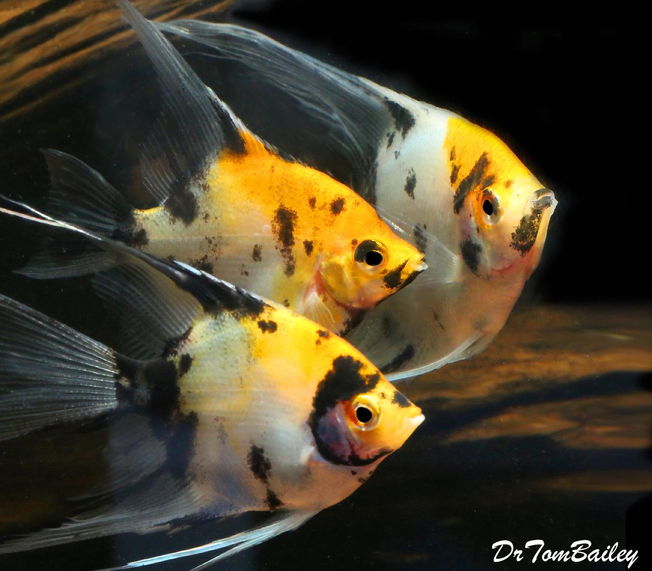 """Premium Rare New, Veiltail Koi Angelfish, Size: 3.5"""" to 4"""""""