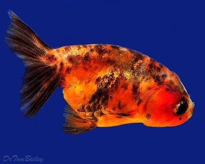 Premium Assorted Lionhead Goldfish, Size: 2