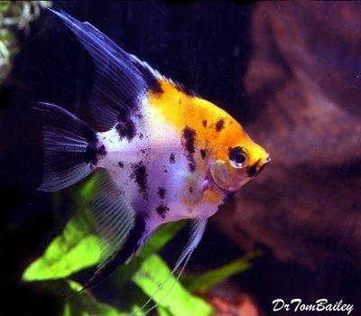 Premium Koi Angelfish, Size: 2
