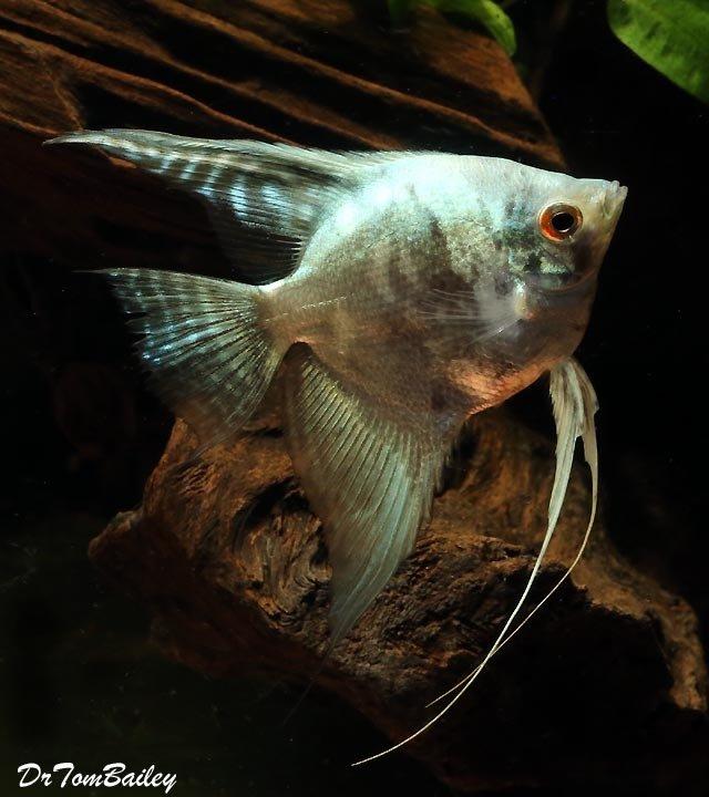 "Premium Smokey Leopard Angelfish, Size: 1"" to 1.5"""