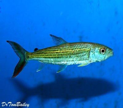 Premium Rare WILD, African Tiger Fish, Size: 3
