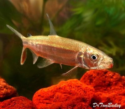 Premium WILD, Rare African Goliath Tiger Fish, Size: 3.5