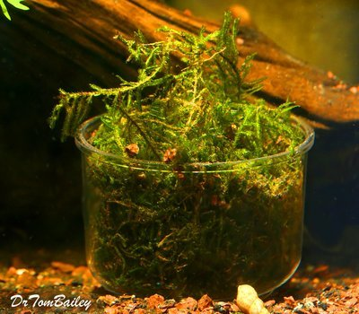 Premium Java Moss Plant in a Cup, Size: Bunch